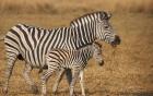 Video: Ngựa vằn con bị truy sát trong bầy ngựa hoang