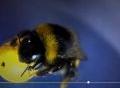 Khả năng chơi bóng siêu đỉnh của ong vò vẽ