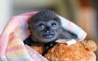 Video: Khỉ mẹ liều mình cứu con thoát khỏi luồng điện cao thế