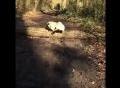 Chó Pug chân ngắn ngã