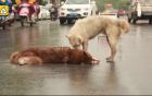 Xúc động khoảnh khắc chú chó cố đánh thức bạn bị xe tông chết