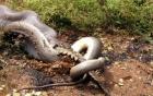 Những màn săn mồi chớp nhoáng của loài trăn