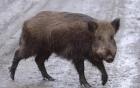 Lợn rừng tấn công giết chết ba chiến binh khủng bố IS