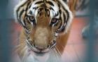 Video: Tận mắt thấy con hổ được phong