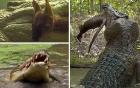 Cá sấu khổng lồ tung người xé đôi kangaroo trong chớp mắt