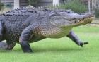 Cá sấu khổng lồ huyền thoại nghênh ngang dạo quanh sân golf