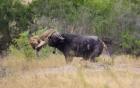 """Trâu rừng tập tễnh phản đòn khiến 2 sư tử cái """"chạy mất dép"""""""