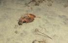 Ngỡ ngàng với hình ảnh chú cá thong dong đi bộ dưới đáy biển