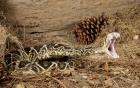 Người đàn ông quyết chiến với rắn cực độc và cái kết