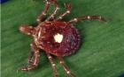 Kì lạ thay, nếu bị loài bọ này cắn thì bạn sẽ biến thành người ăn chay