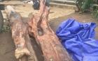 Đào được cây gỗ trắc