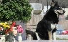Hy hữu chó ngủ cạnh mộ chủ suốt 11 năm cho đến khi chết