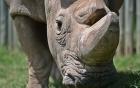 Sudan - Chú tê giác trắng đực cuối cùng trên trái đất qua đời