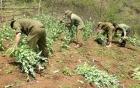 Cao Bằng: Phát hiện 3 điểm trồng cây thuốc phiện
