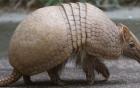 Sinh vật có tai như lợn, mai như rùa đến xin nước uống