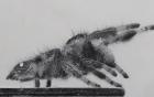 Các nhà khoa học thành công trong việc dạy nhện nhảy bằng 4 chân