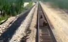 Khoảnh khắc đau lòng khi gấu mẹ bị tàu hỏa đâm chết vì cố gắng bảo vệ đàn con