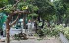 Hà Nội chủ động đề phòng nguy cơ cây xanh gãy đổ do bão số 3