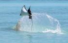 Cảnh tượng hiếm gặp: Đàn cá đuối nặng hàng tấn bay như chim trên mặt biển