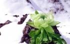Hoa sen tuyết 7 năm mới nở 1 lần, giới nhà giàu bỏ tiền triệu mua về làm quà