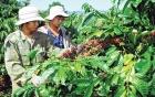 Dân Lâm Đồng xôn xao với thông tin thương lái mua lá cà phê tươi 50.000 đồng/kg