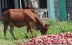 Bình Thuận: Nông dân khóc ròng vì thanh long rớt giá phải đem cho bò ăn