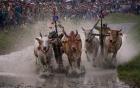 24h qua ảnh: Lễ hội đua bò trên ruộng lúa ở Việt Nam
