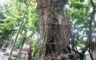Vụ bán cây sưa trăm tỷ ở Hà Nội: Dân được tự quyết định, nhưng phải có sự đồng thuận của cộng đồng