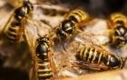 Nghệ An: 11 người thương vong do đàn ong vò vẽ lao ra đốt