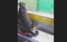 Video: Kinh ngạc chó lên xe buýt một mình để theo sát xe tải chở chủ nhân