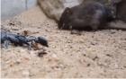 Đấu trường sinh tử giữa bọ cạp và chuột: Kẻ phải chết lại có nhiều danh tiếng hơn