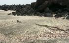 Video: Cự đà thoát chết khỏi bầy rắn kịch tính như phim hành động hút 13 triệu lượt xem
