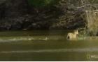 Mặc dù bơi qua sông an toàn nhưng lên tới bờ hổ mẹ lại nhận ra sự thật đau lòng