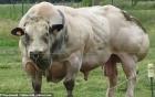 Hãi hùng bò đột biến gien, cơ bắp cuồn cuộn như lực sĩ