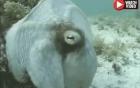 Bạch tuộc trổ tài biến hình nguỵ trang như sinh vật ngoài hành tinh
