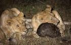 Video: Sư tử ngậm ngùi thất bại trước bộ giáp bất khả xâm phạm của tê tê