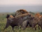 Lạc vào 'ma trận' của 20 con linh cẩu, sư tử đấu đến cạn kiệt sức lực: Phép màu đã xảy ra!