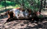 Bí ẩn bò bị giết bất thường ở Mỹ
