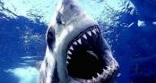 Cá mập hổ cắn đứt chân du khách