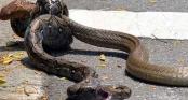 Hổ mang chúa đoạt mạng trăn gấm sau cú đớp \