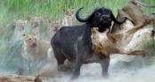 Cái kết cho cuộc chạm chán giữa sư tử với trâu rừng nặng 1 tấn