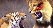 Hổ giao đấu sư tử: Cuộc chiến khủng khiếp của 2 chúa tể
