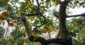 Chanh vàng bonsai bón bằng bột đỗ tương gây sốt chợ cây Tết