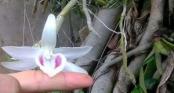 Cận cảnh gốc lan Giã Hạc 5 cánh trắng có giá gần 7 tỉ đồng ở Đà Nẵng
