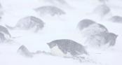 Nghĩa địa xác ướp chim cánh cụt hàng trăm con tại Nam Cực hé lộ rất nhiều điều về tương lai biến đổi khí hậu