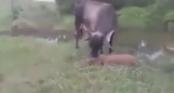 Bò mẹ điên cuồng tấn công trăn khổng lồ vì siết chết bê con