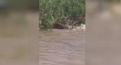Rùng mình xem cuộc chiến sinh tử giữa báo đốm và cá sấu