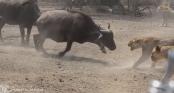 Clip: Trận đấu đỉnh cao, trâu rừng dàn trận chống lại bầy sư tử