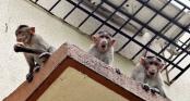 Bị khỉ cướp khỏi lòng mẹ, bé 12 ngày tuổi tử vong thương tâm