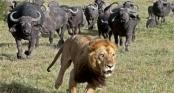 Đụng đến nghé con, bầy sư tử lao cả xuống nước để thoát khỏi cơn thịnh nộ của trâu mẹ